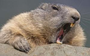 rodent-front-teeth-300x187.jpg