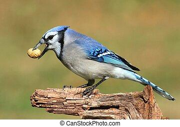 blue-jay-eating-peanuts-close-up-of-a-bl