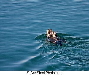 sea-otter-eating-a-crab-in-morro-bay-pic