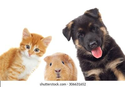 kitten-puppy-guinea-pig-looking-260nw-30