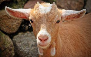 goat_face_young_110052_300x188.jpg