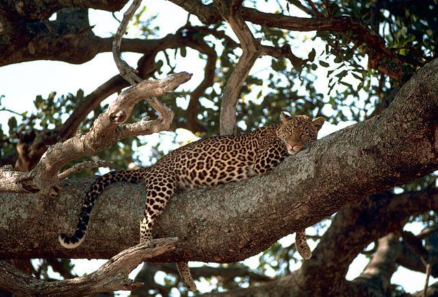 640px-Leopard_on_the_tree.jpg