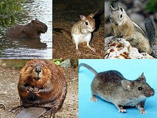 320px-Rodent_collage.jpg