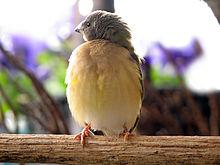 220px-Young-gouldian-finch.jpg