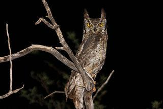 320px-Spotted_eagle_owl_bubo_africanus.j