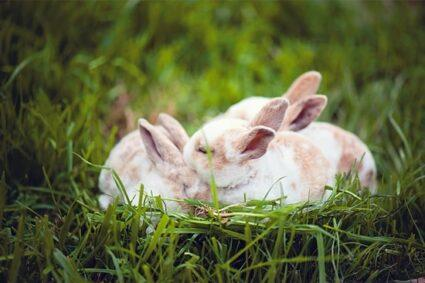 rabbits-over-grooming-each-other-e158814